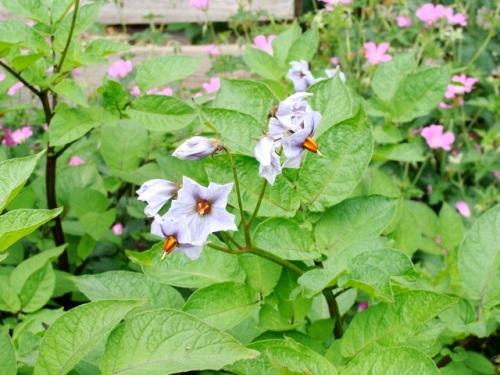 blue potato flower1